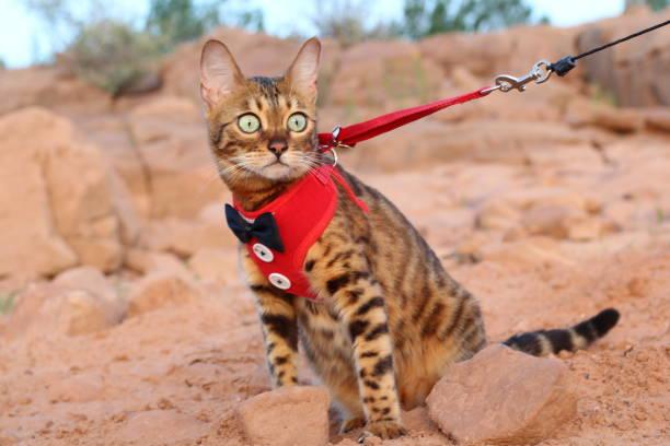 katze an der leine mit einem ausgefallenen outfit - katzengeschirr stock-fotos und bilder
