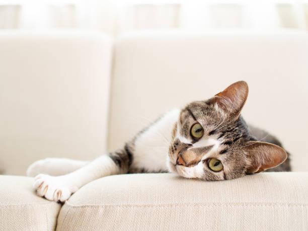 cat on a sofa - kręgowiec zdjęcia i obrazy z banku zdjęć