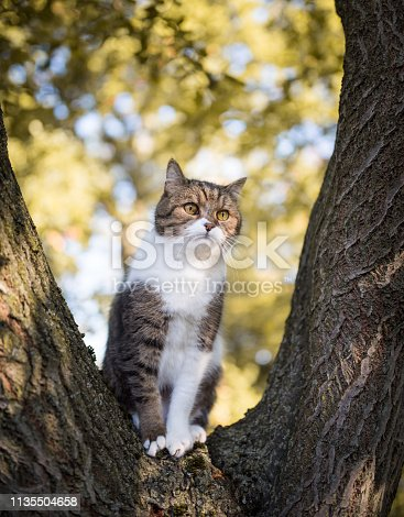 british shorthair cat sitting on a tree