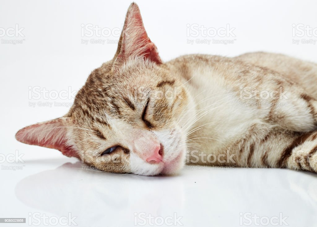 Beautiful little Bengal cat on a white background