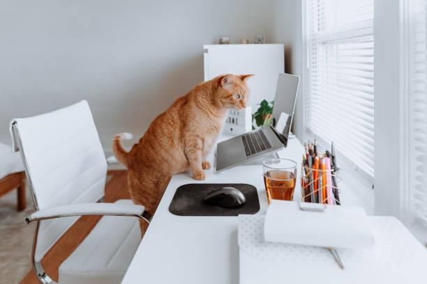 Cat on a work desk at home picture id1224246077?b=1&k=6&m=1224246077&s=612x612&w=0&h=j3yr7ch olqlmfqb2yjq2iiik0952di9lpdla2hjkxm=