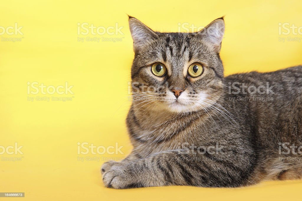 cat on a yellow background royalty-free stock photo