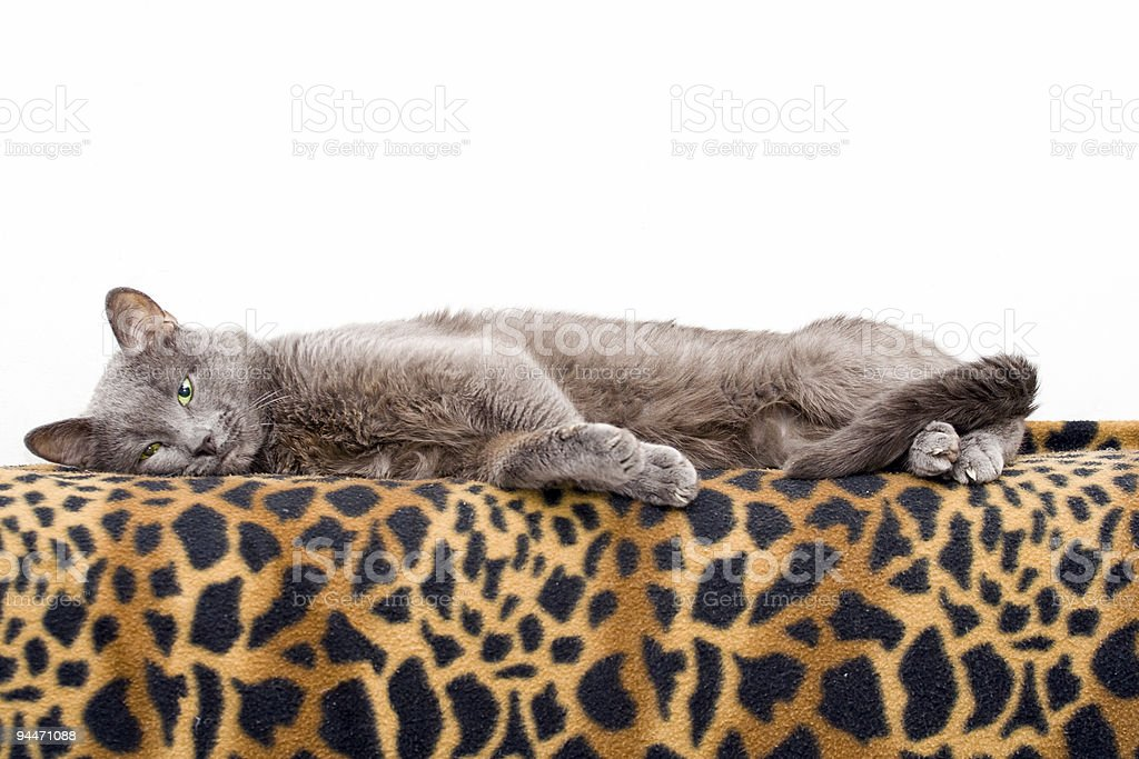 Cat on blanket royalty-free stock photo