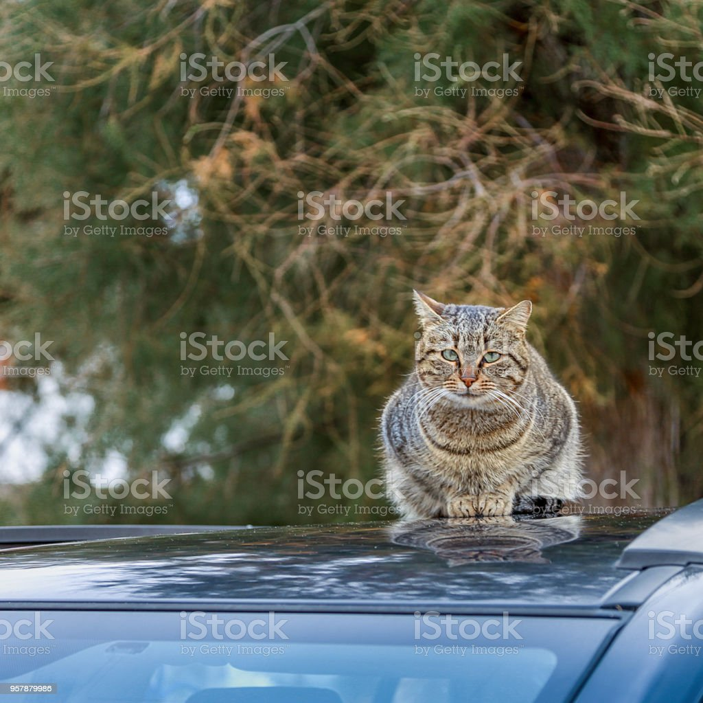 Cat On Car Roof Top. Isolated stock photo