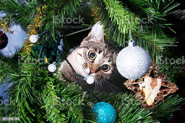 Cat on christmas tree naughty kitten new year picture id637395164?b=1&k=6&m=637395164&s=612x612&h=v70aevz6w8ahau6wrkmubw70jtn3iltioftqp m2rew=