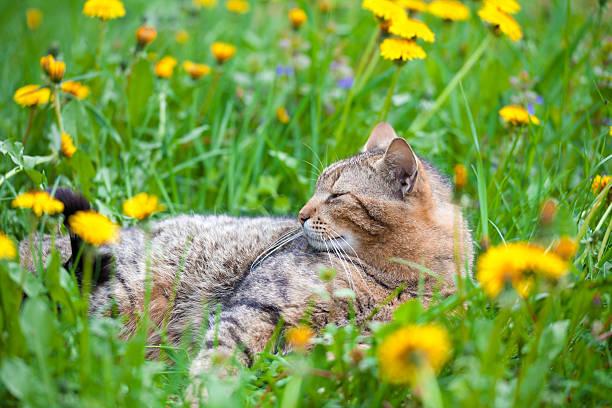 Cat on dandelion meadow picture id531439905?b=1&k=6&m=531439905&s=612x612&w=0&h=8ex1s64kvv6nlcirm3sbpkin4lfmehji6diyharuxuu=