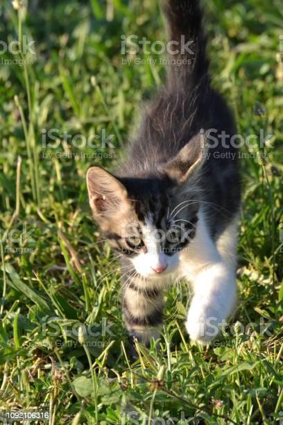 Cat on grass picture id1092106316?b=1&k=6&m=1092106316&s=612x612&h=fixi9gmebwwkik7nlx2aeqwpy zgzxn67kkvuqeb3qw=