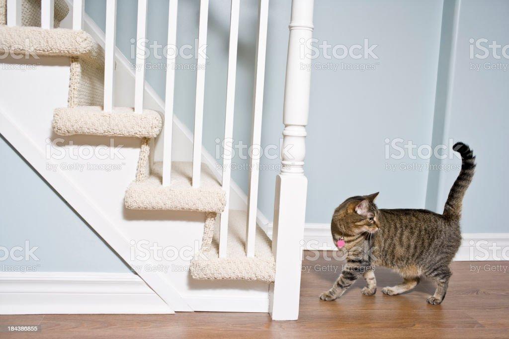Cat on hardwood floors royalty-free stock photo