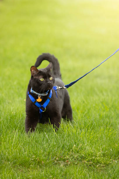 cat on leash walking in grass - cat leash stock photos and pictures