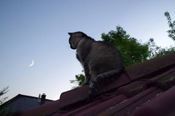 Cat on roof watching for the moon picture id837684796?b=1&k=6&m=837684796&s=612x612&w=0&h=stqs9f wekcuebg eueepn10 j0l2jt9lwz9mqcr cg=