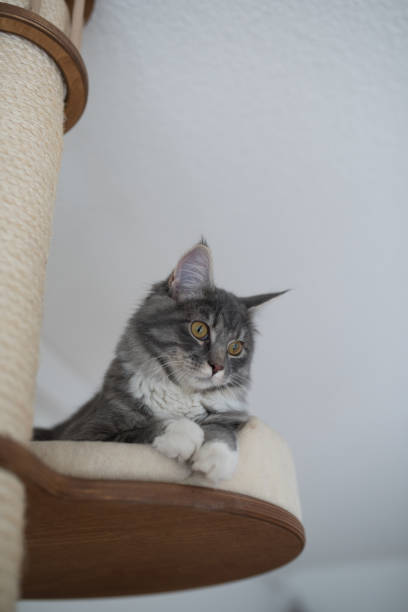 katze auf kratzpfosten - grau getigerte katzen stock-fotos und bilder