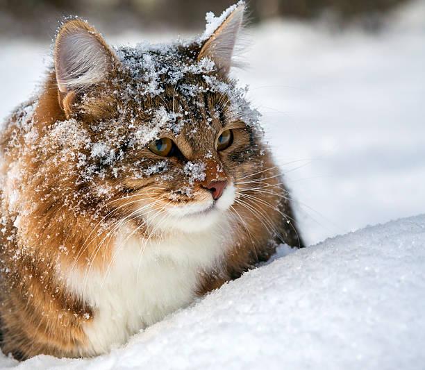 Cat on snow picture id187678211?b=1&k=6&m=187678211&s=612x612&w=0&h=wkvbrm dbpuyhrhtmktybm0beb8hvlnjo2r7ahn0lto=