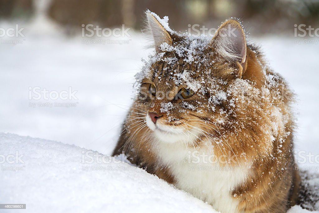 cat  on snow stock photo