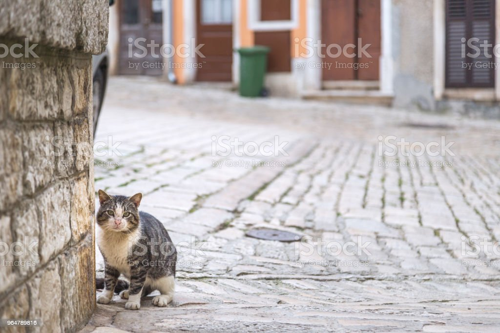 Cat on stone street in the middle of town, Rovinj, Croatia. royalty-free stock photo