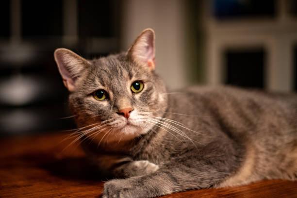 Cat on table picture id1196188099?b=1&k=6&m=1196188099&s=612x612&w=0&h=ocn6yj8cld5fhk2y7tw0ahzjktsfbbtgarllju8a9wk=