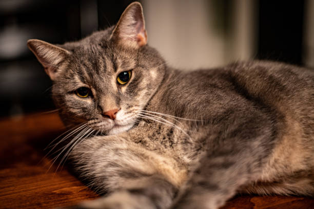 Cat on table picture id1196188284?b=1&k=6&m=1196188284&s=612x612&w=0&h=78fqwkujj8ymd9cf d xbx05bw3nelpgivjtekfum5u=