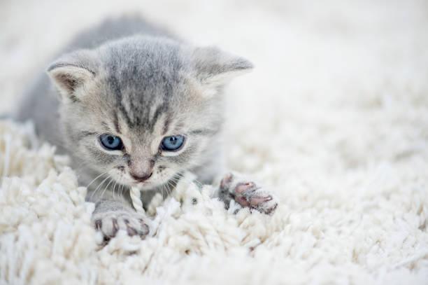 cat on the carpet - impastare foto e immagini stock