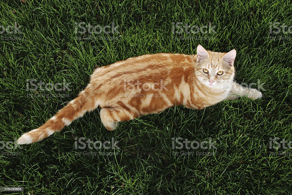 Cat on The Lawn royalty-free stock photo