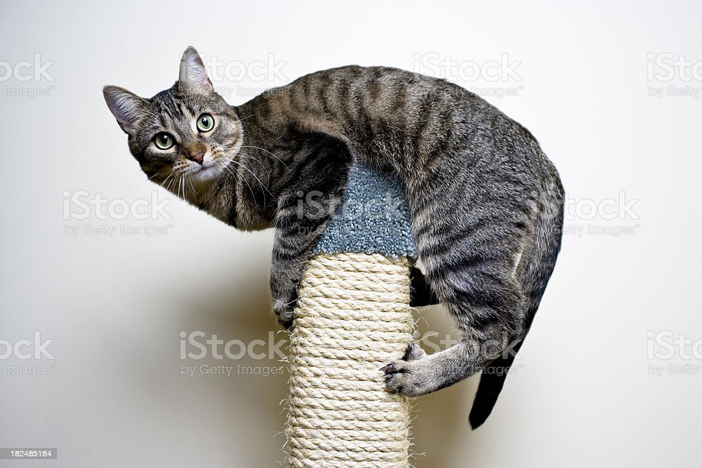 Cat on top of a Scratch Post royalty-free stock photo
