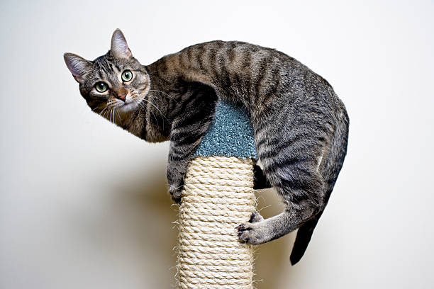 Cat on top of a scratch post picture id182485184?b=1&k=6&m=182485184&s=612x612&w=0&h= 9pn5w6z6t1fkkyempxyyp9ovy sgzydfn1wegsxrem=