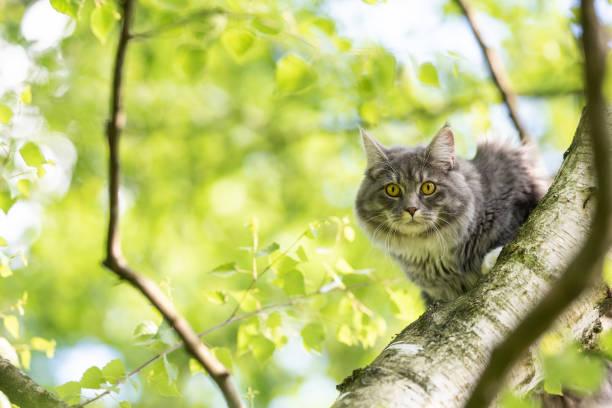 katze auf baum - grau getigerte katzen stock-fotos und bilder