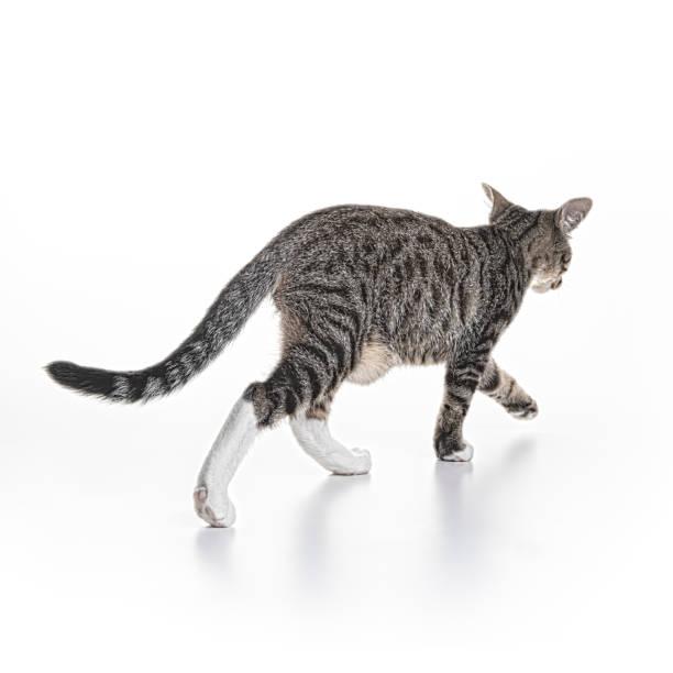 Cat on White Walking Away stock photo