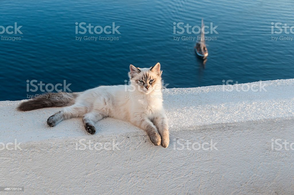 Cat on White Wall, Santorini, Cyclades, Aegean Sea, Greece​​​ foto