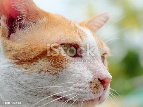 Animal, Domestic Cat, Feline, Pets, Thailand