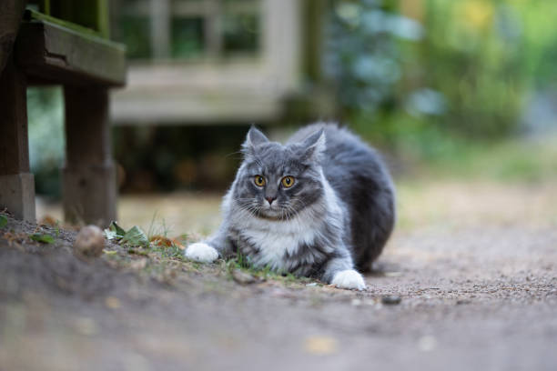 cat outdoors alterted and frightened young blue tabby maine coon cat with white paws on a footpath behind back yard folding back ears looking ahead scared cat stock pictures, royalty-free photos & images