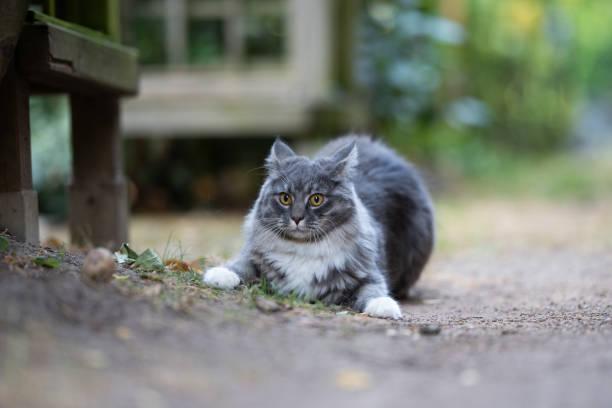 katze im freien - grau getigerte katzen stock-fotos und bilder