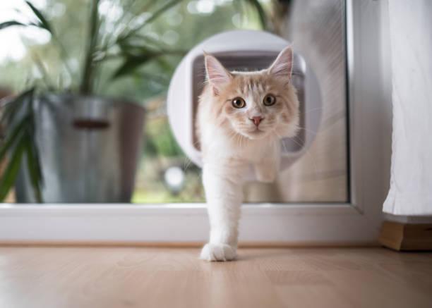 Cat passing through cat flap picture id1138902734?b=1&k=6&m=1138902734&s=612x612&w=0&h=vvtfl8igezqgwdeemrg mqptcuu nkaoiip4esni zq=