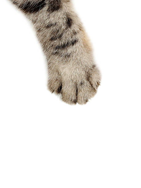 Patte de chat sur le fond blanc - Photo