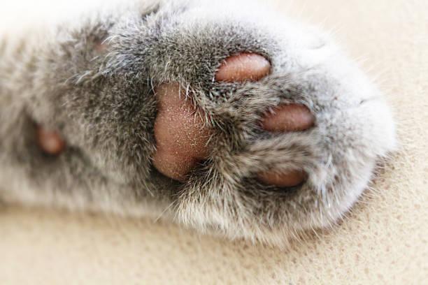 cat paw - grau getigerte katzen stock-fotos und bilder