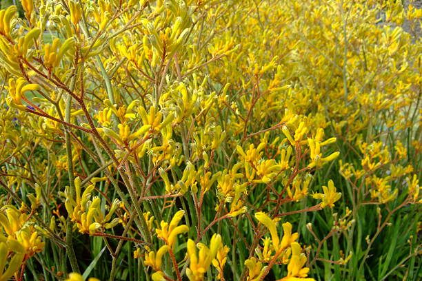 cat paw plant - kangaroo paw stock photos and pictures