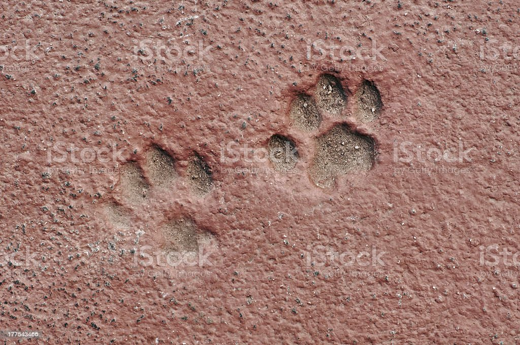 Cat Paw Prints in Concrete royalty-free stock photo
