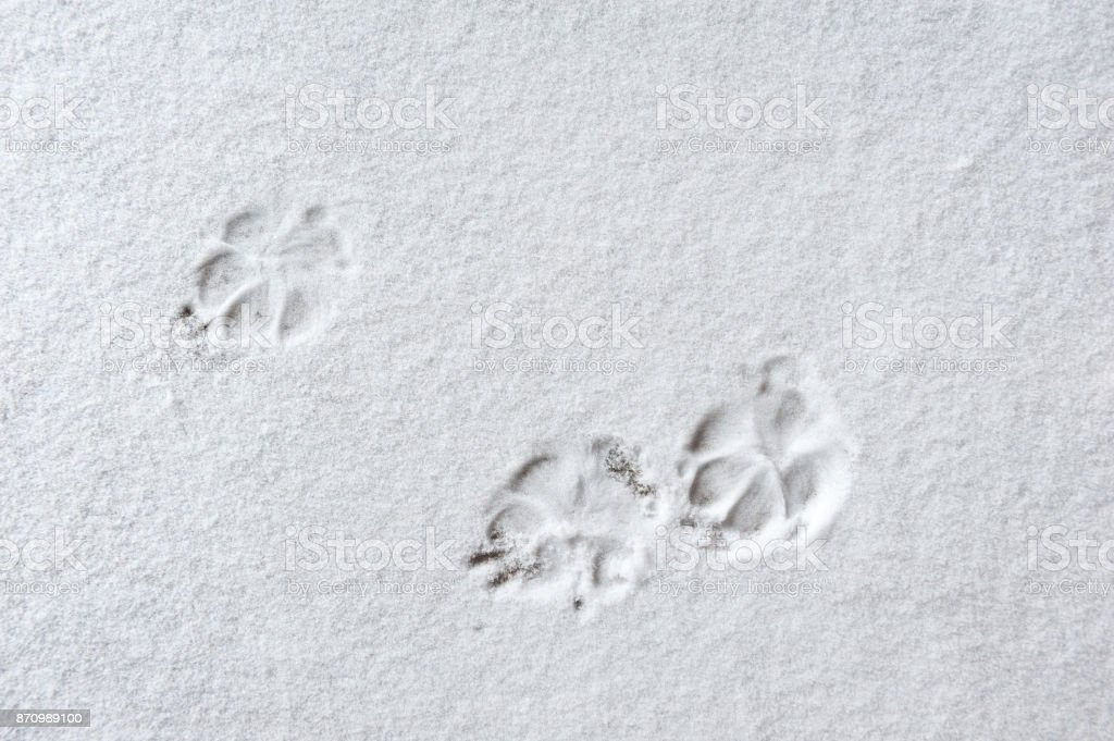 Cat paw prints in the snow stock photo