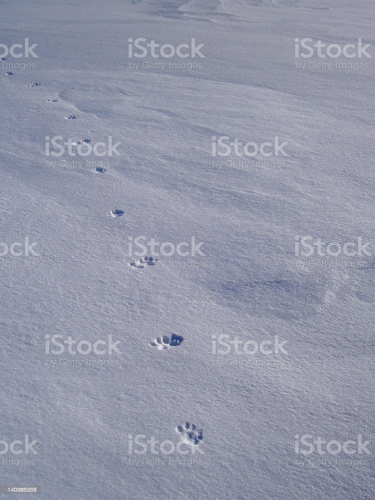 cat paw prints in the winter snow royalty-free stock photo