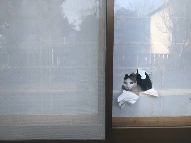 日本の壊れた障子の穴から覗く猫 ストックフォト