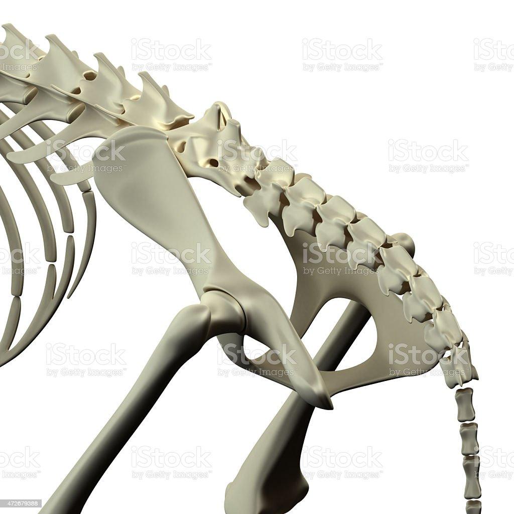 Cat Becken Hüfte Anatomiekatze Becken Hüfte Stock-Fotografie und ...