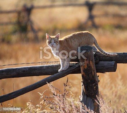 Orange cat hunting for mice