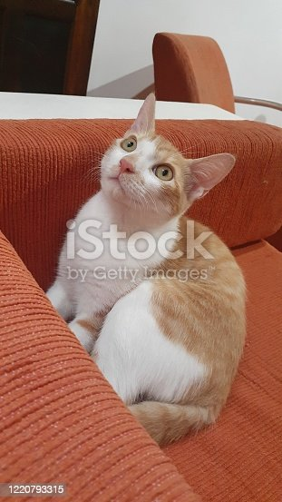 A bicolor cat sitting on a sofa