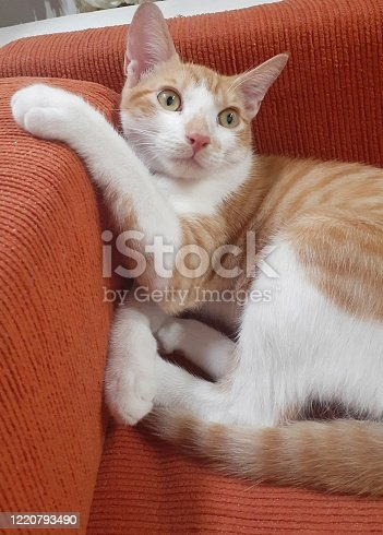 A bicolor cat lying on a sofa