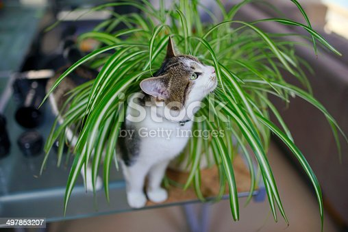 cat playing in spider plant