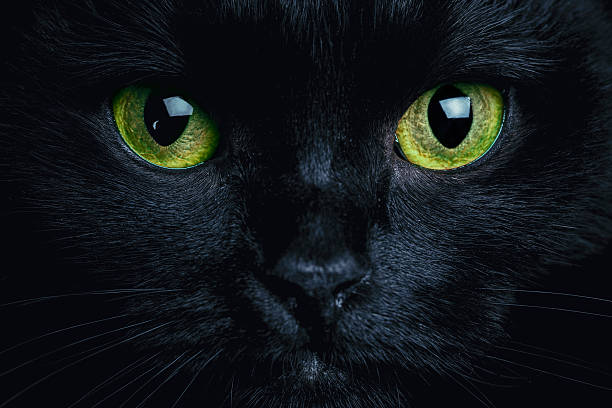 Cat Close up photo of black cat. Witch cat. Halloween theme.  halloween cat stock pictures, royalty-free photos & images
