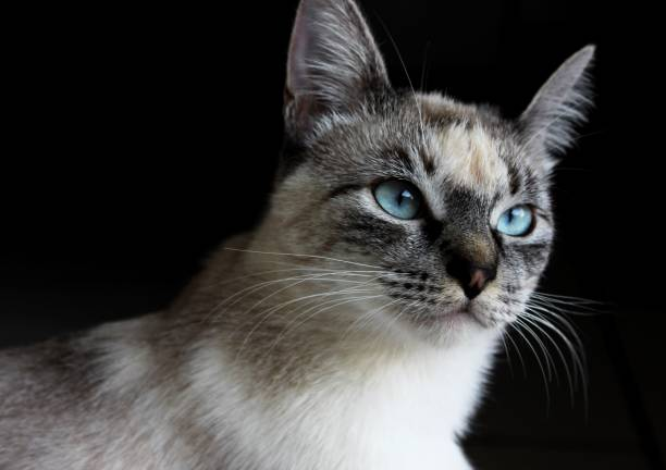 katze - grau getigerte katzen stock-fotos und bilder