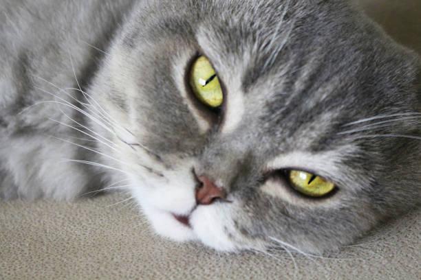cat - grau getigerte katzen stock-fotos und bilder