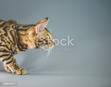 Bengal Breed cat relax playing on grey background