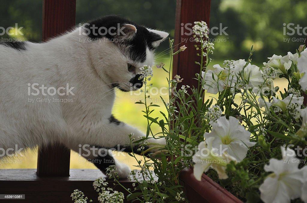 cat play royalty-free stock photo