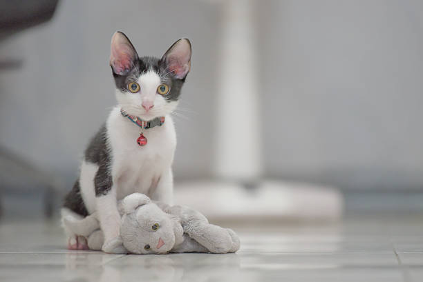 cat play with kitten  doll lay on floor – Foto