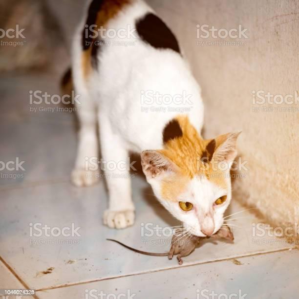 Cat playing and catch a rat picture id1046024328?b=1&k=6&m=1046024328&s=612x612&h=nlzfma8ki4ogfkd zug4jbytip169emogkuexv0tnq8=